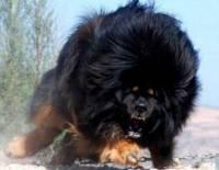 Одна из самых мощных и сильных собак